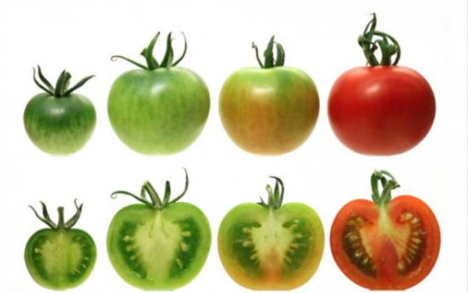 Как дозревает томат