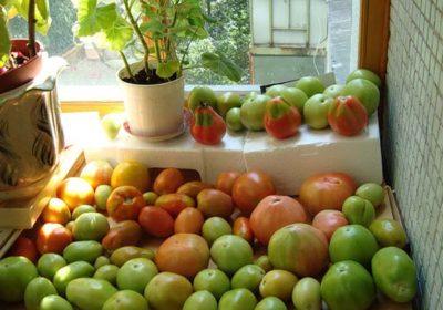 Зеленые помидоры на подоконнике